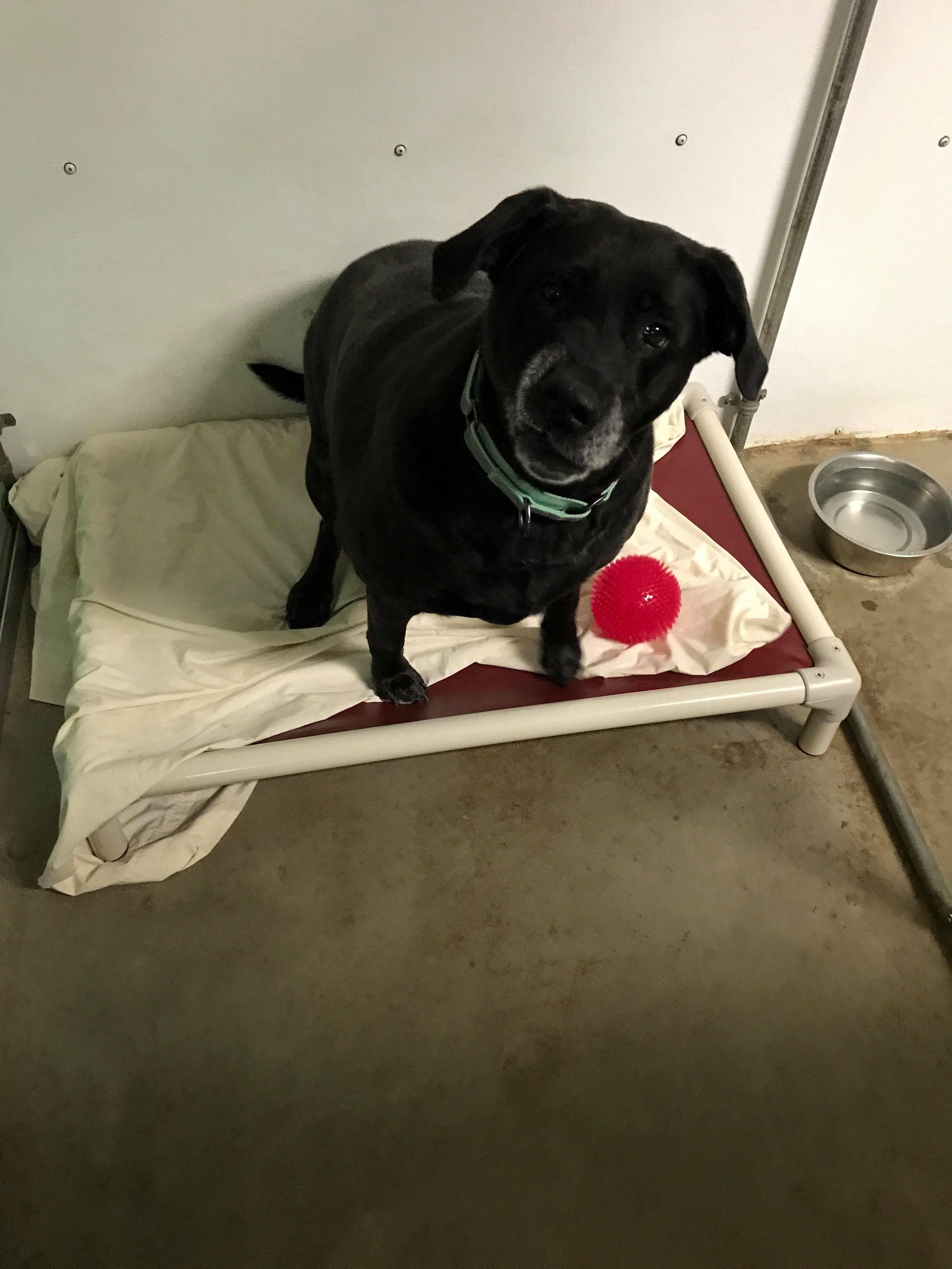 Adopt Winnie On Labrador Retriever Best Guard Dogs Black Labrador Retriever