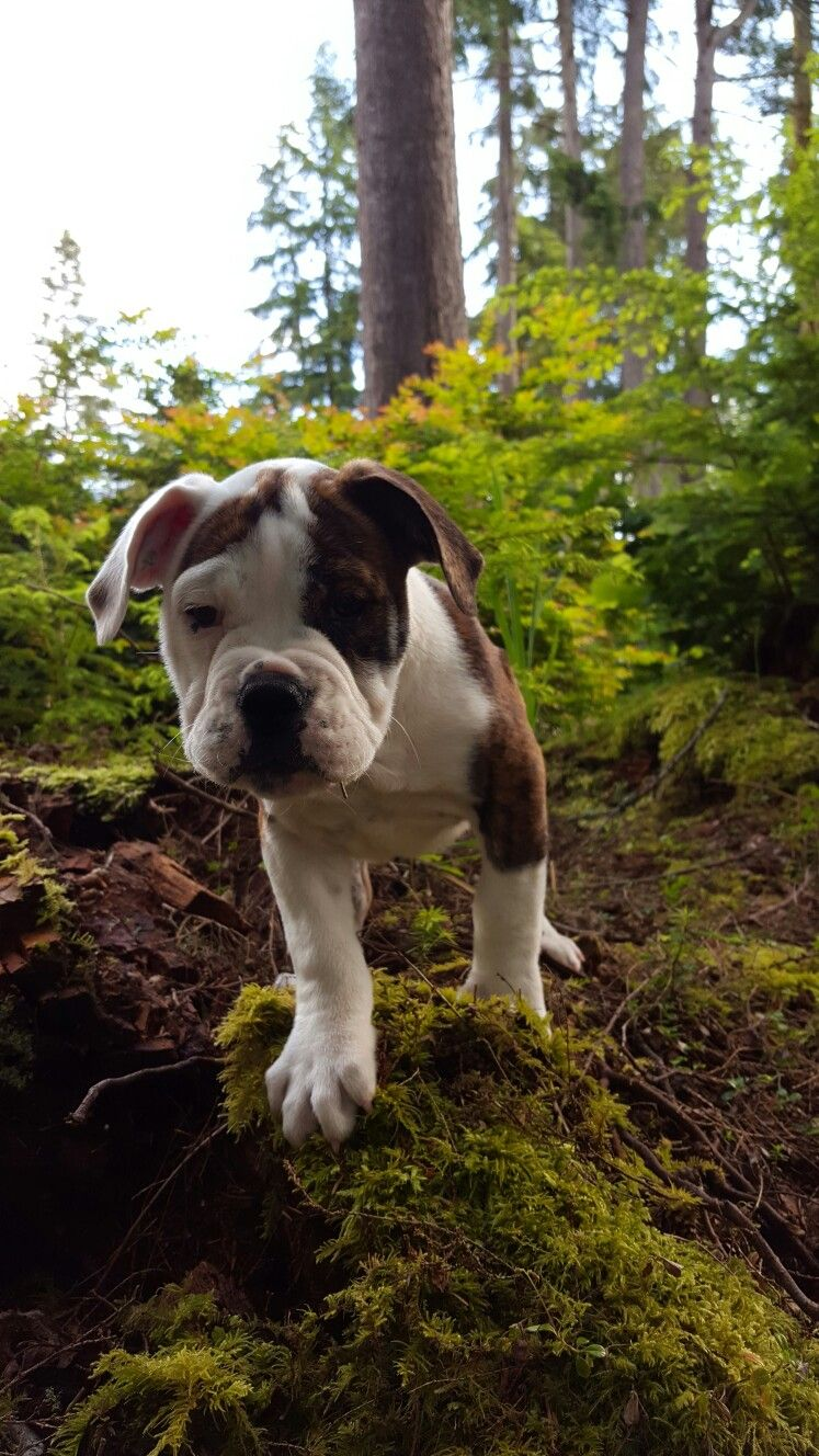 Valley Bulldog Part Boxer Part English Bulldog Valley Bulldog