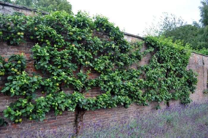 Espalier apple trees against a brick wall.