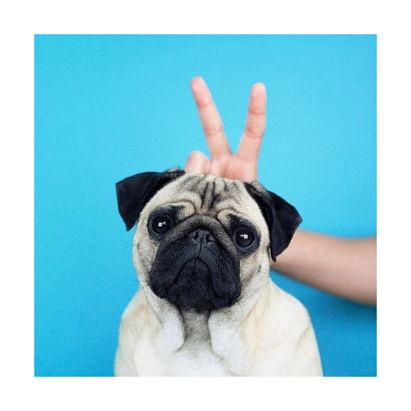 photo via tumblr user meetthepugs ❤ liked on Polyvore featuring pictures, animals, blue, icon pictures and backgrounds