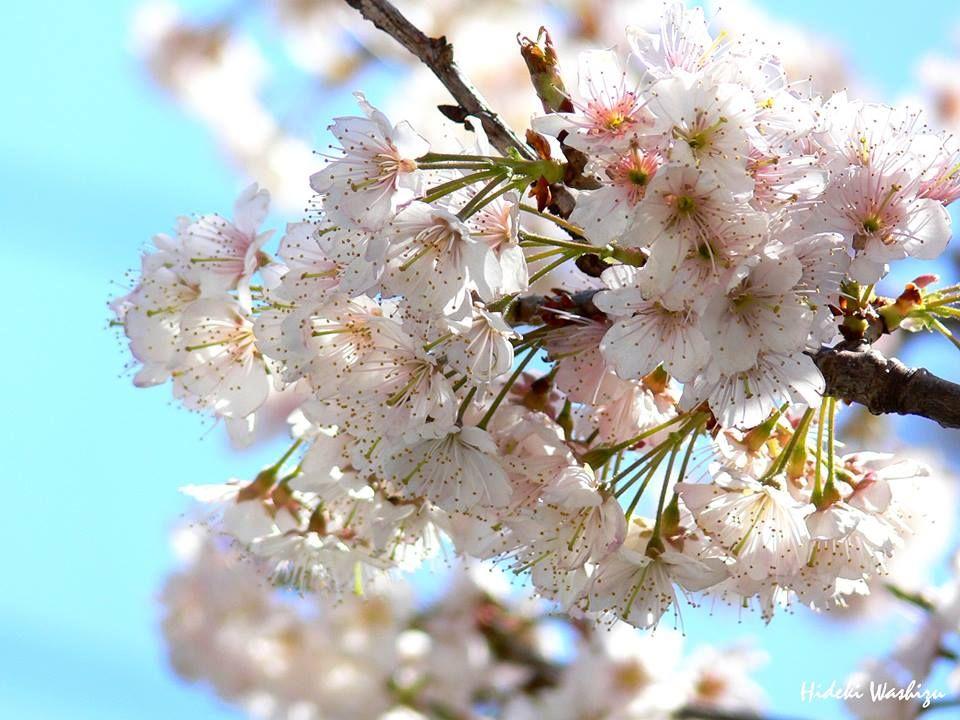 6月19日の誕生日の木は「サクランボ」です。サクランボの名前は、もともとは桜の実を差す「桜の坊」から変化したものといわれています。正式には「桜桃(おうとう)」といいますが、サクランボが一般的ですね。ヨーロッパ原産のサクランボは、平安時代に中国を経由して日本に入ってきたようですが、本格的に栽培されるようになったのは明治時代に入ってからです。サクランボは品種数がとても多く1,000種を超えると言われていますが、大きく分けると実が甘い生食用の甘果桜桃と、実の酸味が強い調理用の酸果桜桃に分けられます。実は、サクランボをはじめナシ・リンゴ・ウメ・クリなど多くの果樹では、同一品種の花粉を受粉しても受精せず種子ができません。このような性質を「自家不和合性」といいます。国内で最も生産されている品種「佐藤錦」の受粉木には、ヨーロッパでポピュラーな品種「ナポレオン」が使われることが多いようです。サクランボというと初夏の味覚。冷水にさっと通して冷やしたサクランボは格別です。