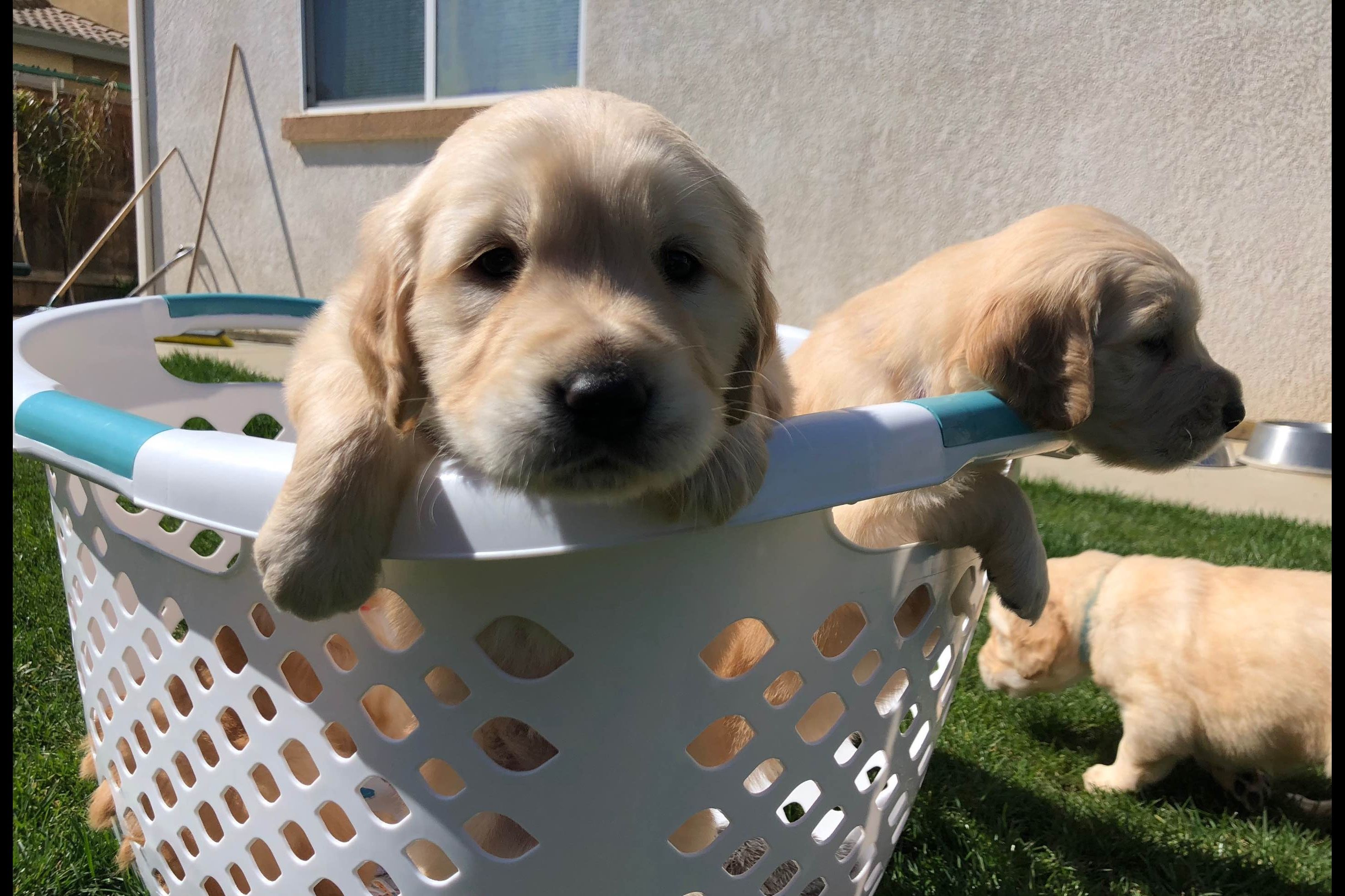 Gibbs Goldens Has Golden Retriever Puppies For Sale In
