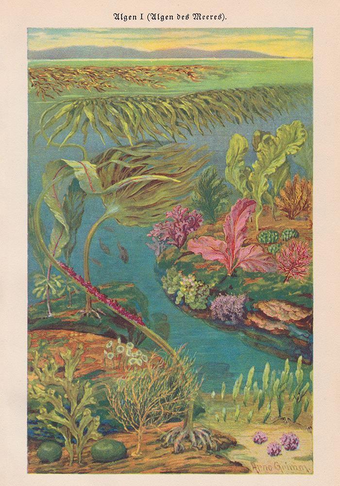 Algen I Coral Poster | Kuriosis Vintage Prints