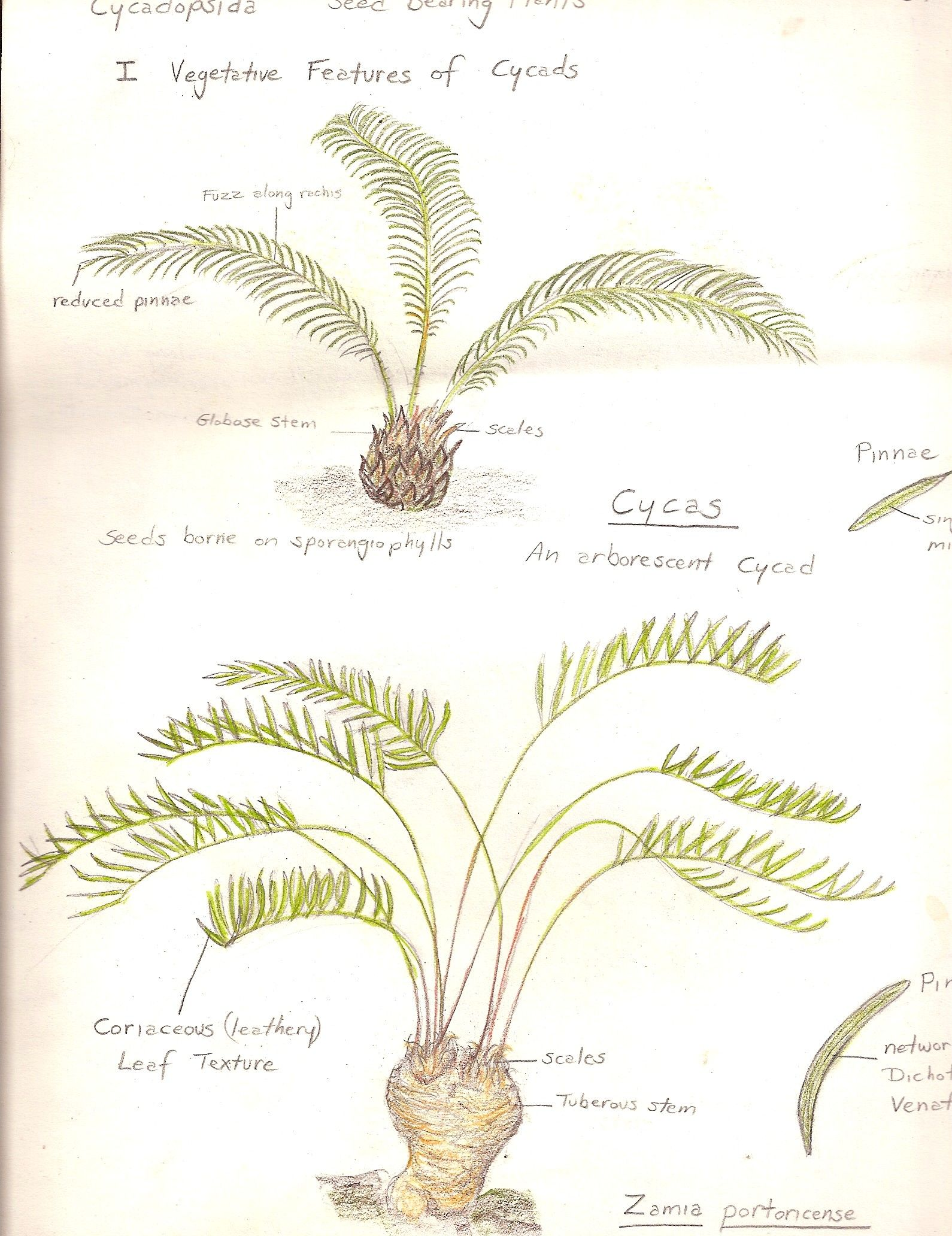 Cycadopsida Vegetative Features Of Seed Bearing Plants Cycas And