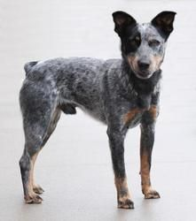 Adopt Buckeye On Australian Cattle Dog Blue Heeler Blue Heeler