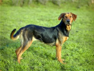 New Zealand Huntaway Dog Dogs Puppy Hound Pups Dog Puppies
