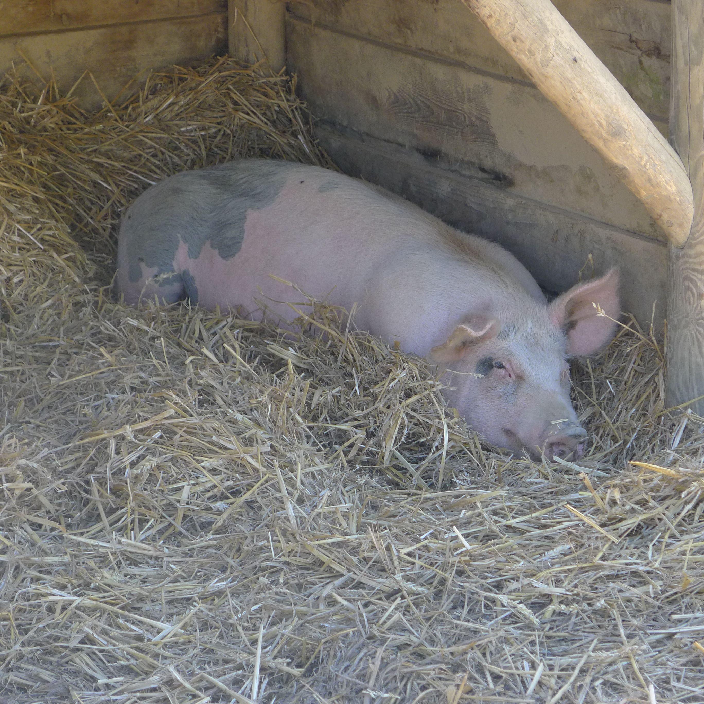 """49 Animal Un cochon qui semble avoir la vie """"cool"""" aux Jardins"""