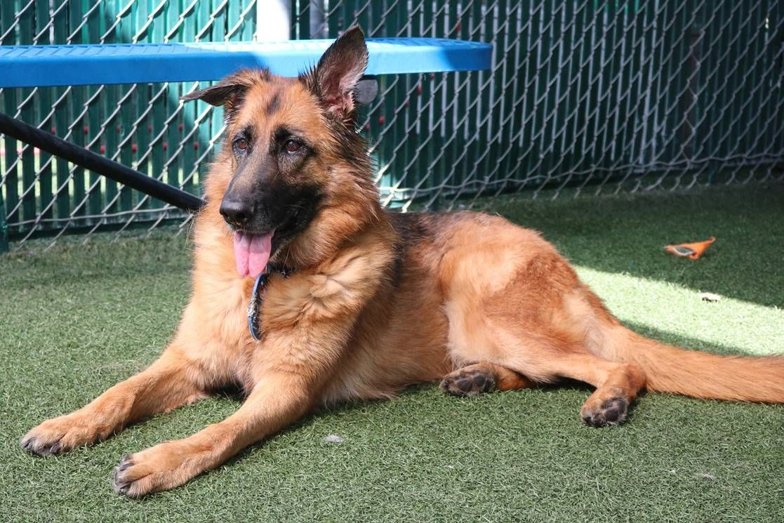 German Shepherd Dog Dog For Adoption In San Diego Ca Adn 680912