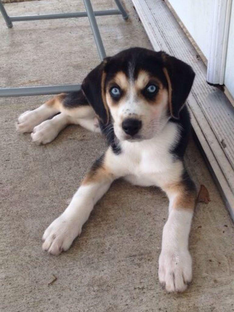 Beagle Husky Mixed Breed Dogs Mutt Dog Cute Beagles