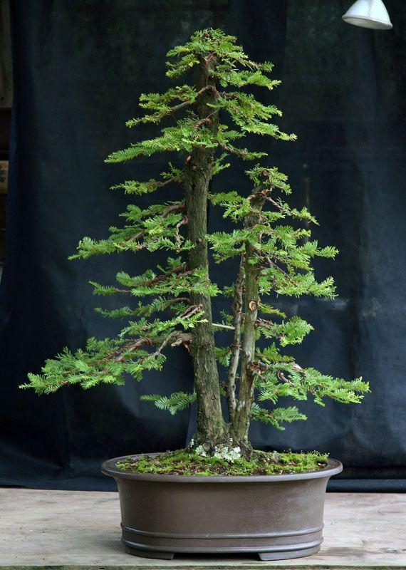 die besten 25 redwood bonsai ideen auf pinterest bonsai baum arten bonsai und bonsai wald. Black Bedroom Furniture Sets. Home Design Ideas