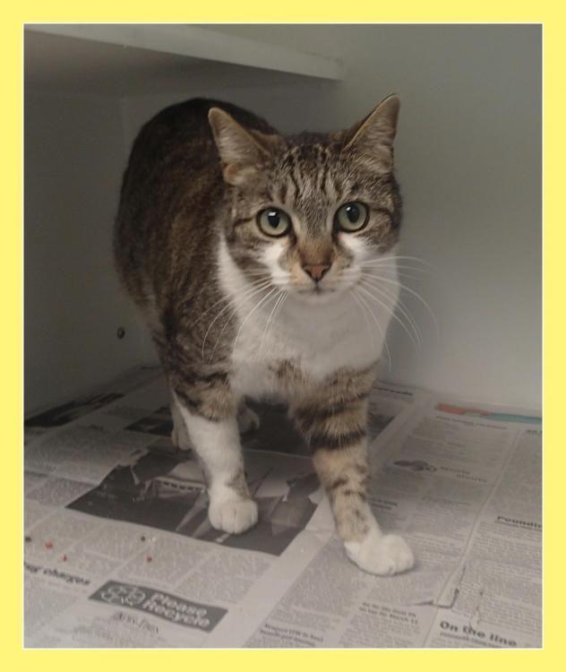 Adopt Alice On Petfinder Cat Adoption Humane Society Adoption