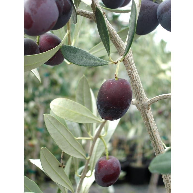 Olive Trees Come Potted And Are Self Fruitful (produce Both Male And Female  Flowers On The Same Tree). Even If A Pollenizer Is Not Required, ...