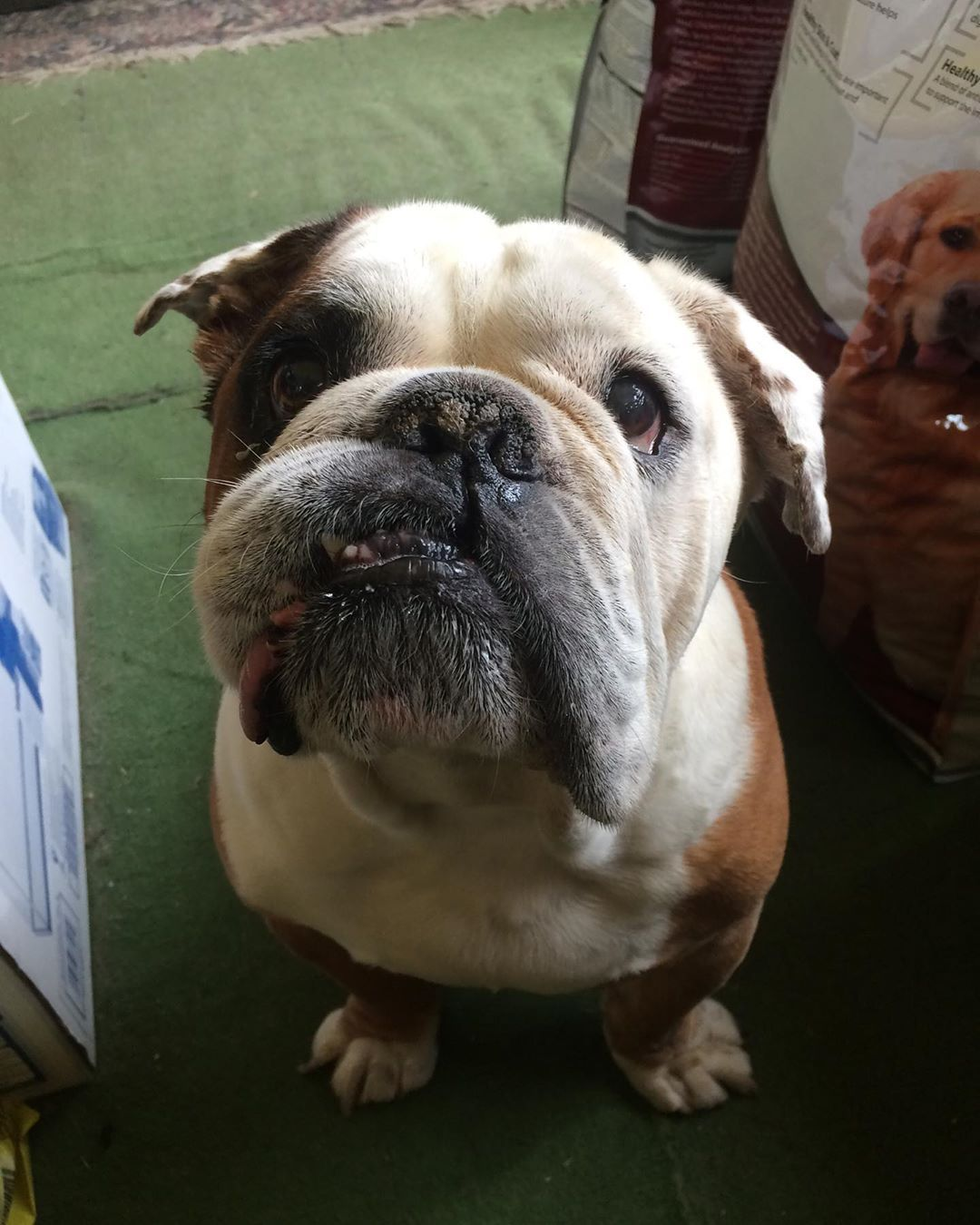 Happy 10th Birthday Zeus Englishbulldog English Bulldog