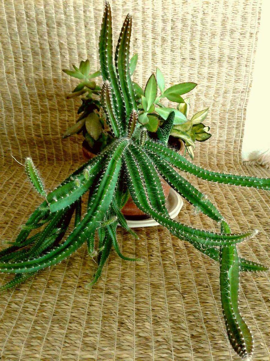 Succulents Dogtail Cactus Hoya Sedum Kalanchoe Gasteria In A Terracotta