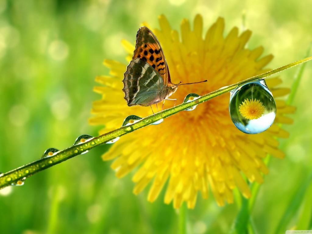 Free Wallpaper Of Butterfly And Water Drops In Macro Photography