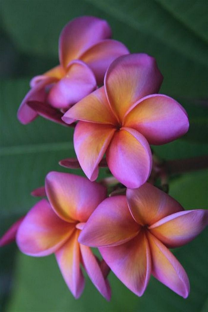 Plumeria Polynesian Sunset Plumeria Flowers Flower Seeds Rare Flowers