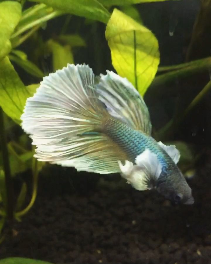We love the flowing fins of our Betta fish.