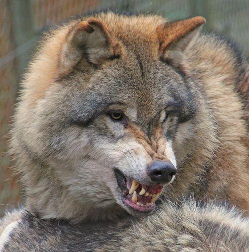 Snarling Wolf, Wolf, Animals