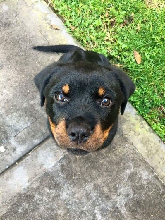 Rottweiler Puppies By Hevan On Fly Rottweiler Rottweiler Funny