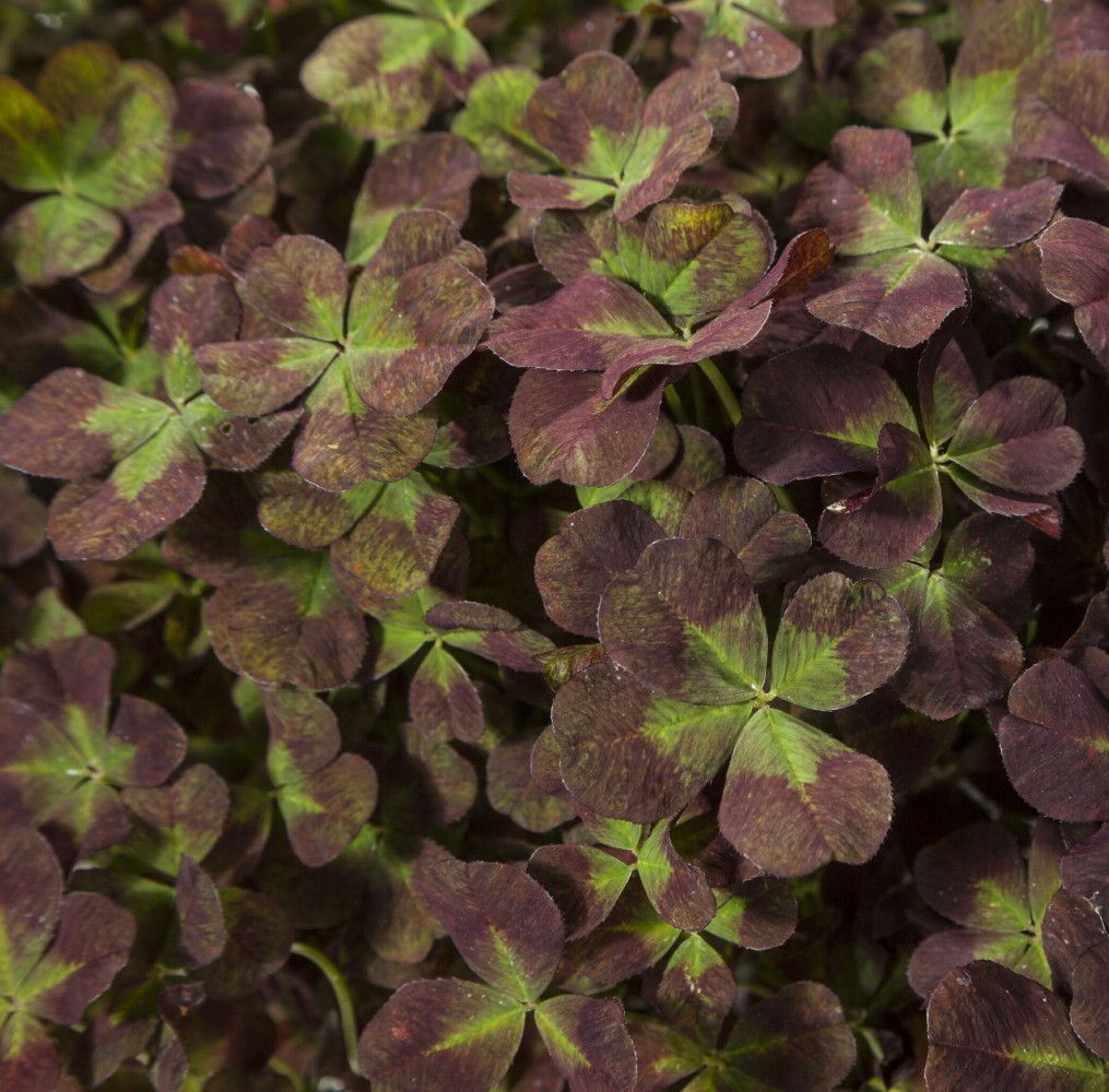 Coco Mint Glow Shamrock 4 Leaf Clover -Trifolium - Indoors or Out ...