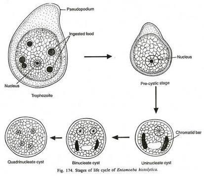 Entamoeba Histolytica 1-4 nuclei. Pathogenic cyst. Ingests