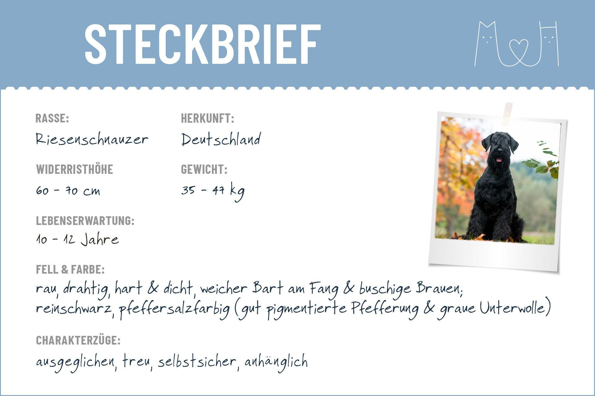 Riesenschnauzer Steckbrief Charakter Pflege Haltung Riesenschnauzer Schnauzer Steckbrief