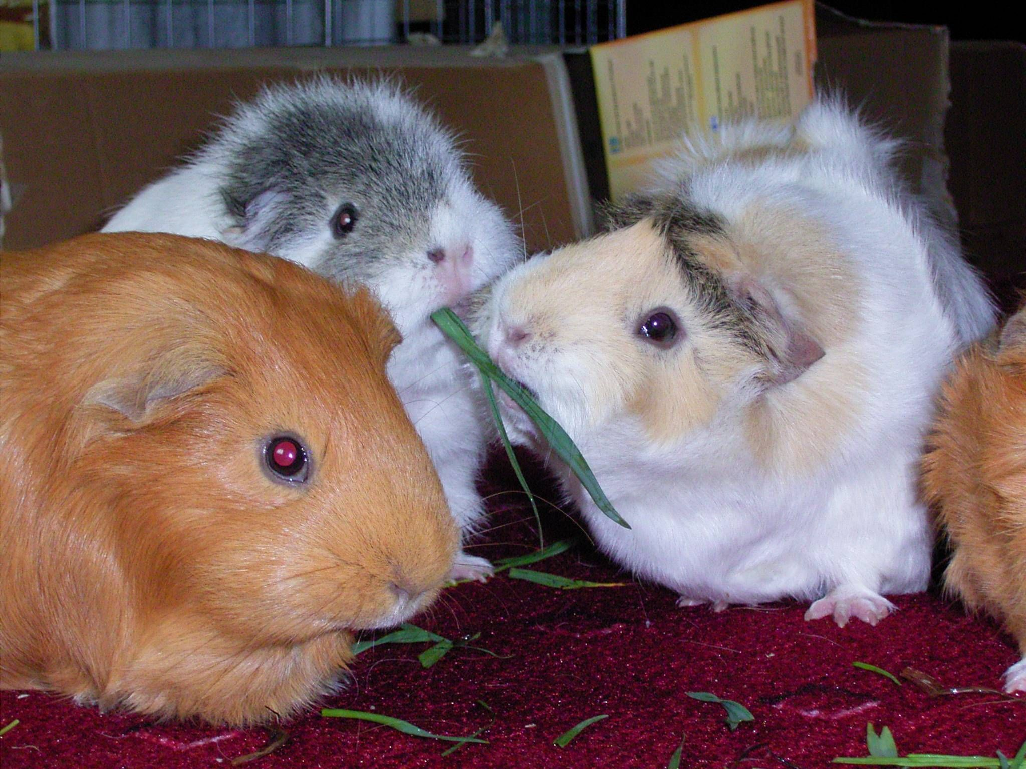 Pin On Guineapigs