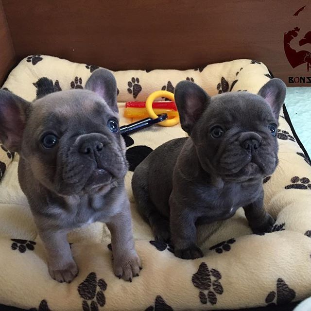Uggy The French Bulldog And The Towel Blue French Bulldog