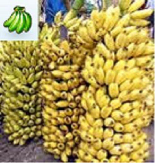how to grow manzano bananas