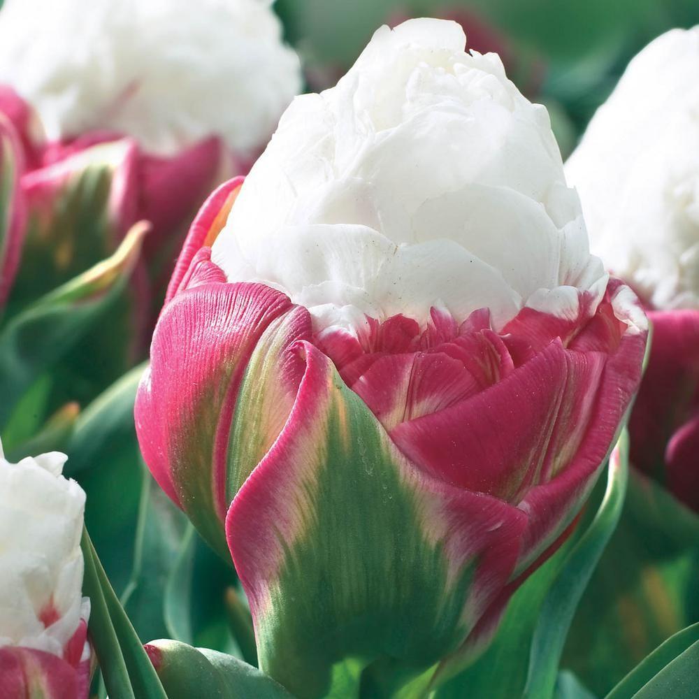 10pcs//bag tulip seeds Rare bonsai flower seeds ice cream as beautiful tulips pot