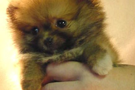 Pomeranians Puppies For Sale In Westchester New York Cute