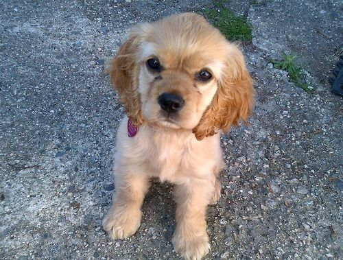 Wedgwood American Cocker Spaniel Puppy Adorable Http Animalfunnymemes Com Wedgwood American Cocker Spaniel Puppies Cocker Spaniel Dog Cheapest Dog Breeds