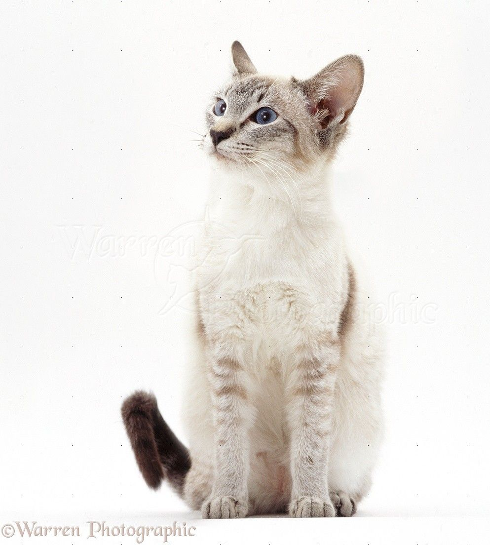 Some Top Unusual Cat Breeds On Earth With Images Cat Sitting