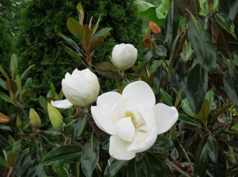 Magnolia Little Gem Flower Google Search Kese Le Magnolia