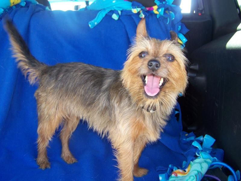 Meet Lexi A Petfinder Adoptable Yorkshire Terrier Yorkie Dog