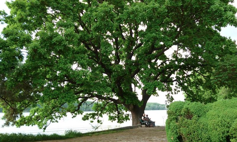 Majestátna bošácka hruška bojuje otitul Európsky Strom roka 2016