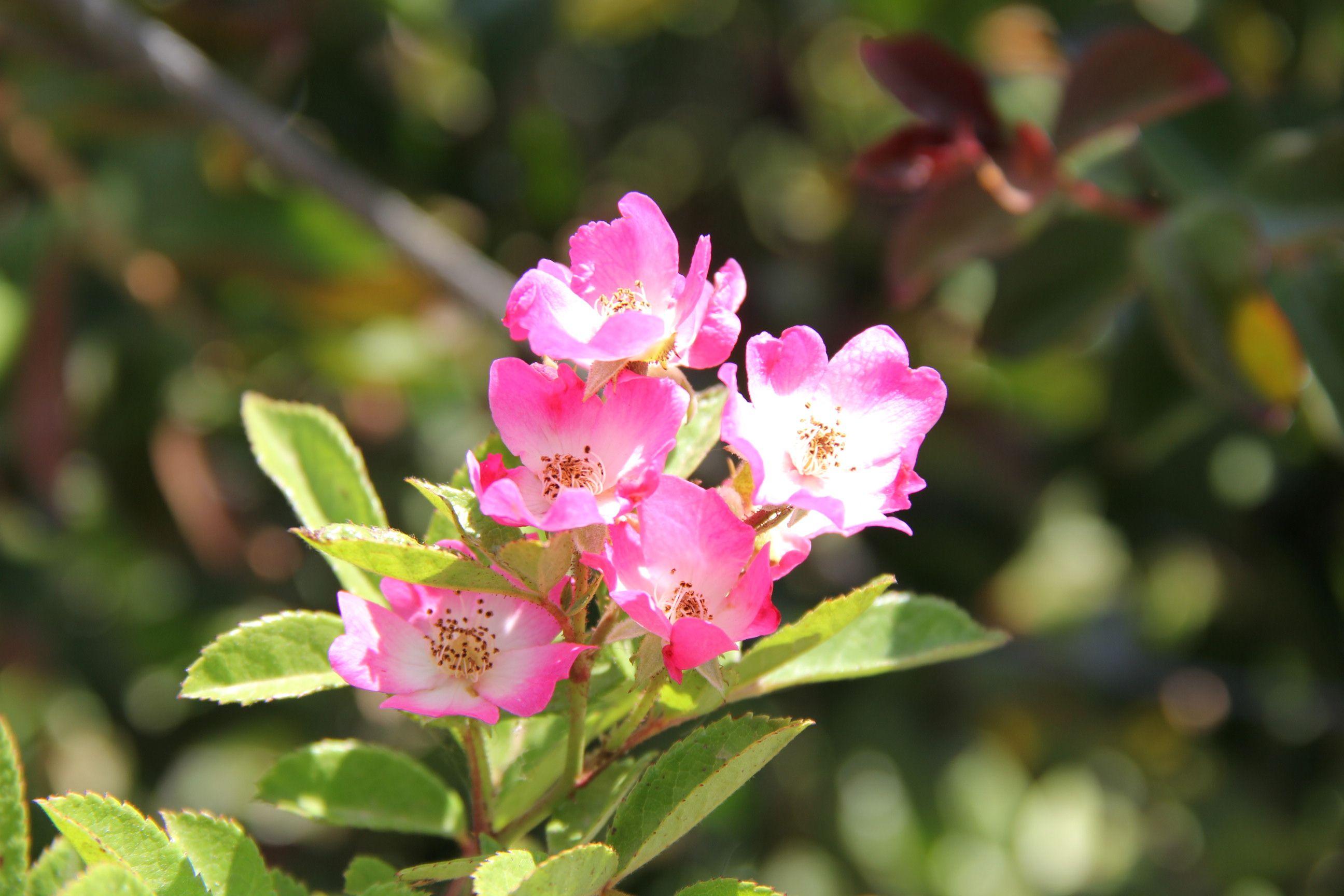 ורד כנפי מלאך Plants, Garden