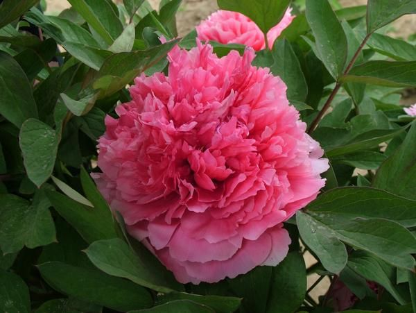 Coral Terrace | Chinese Tree Peony, Pesticide Free U2013 Cricket Hill Garden