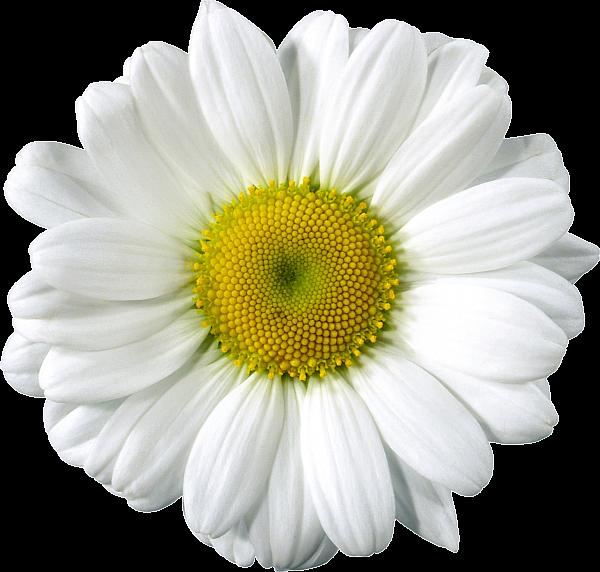 Daisy Clip Arts Flower Clipart Printables Photoshop Flowers Flower Download