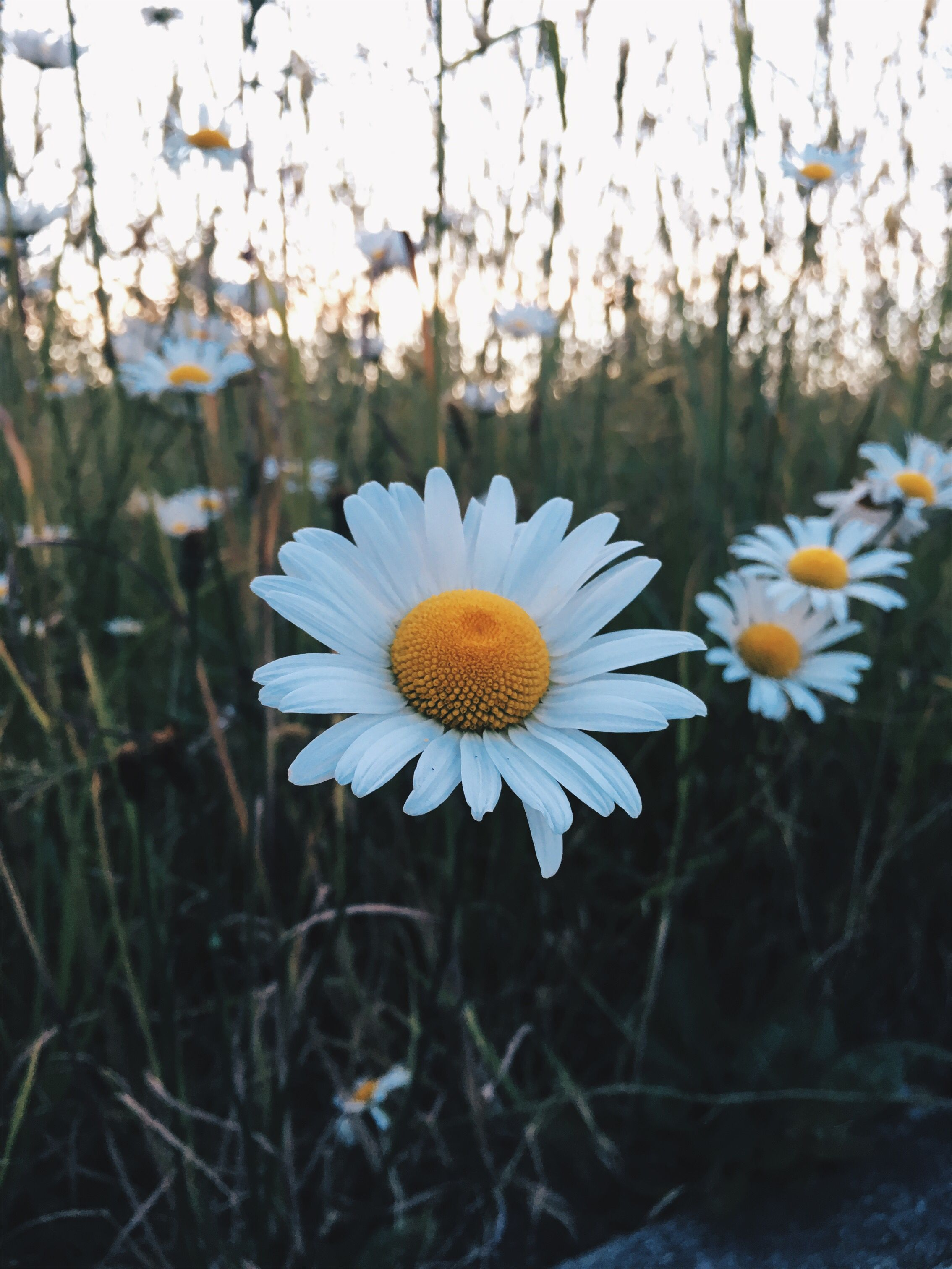 Baezalakew Daisy Flower Photo Photography Tumblr Grass Nature Natural