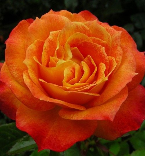 Tangerine Streams: Floribunda