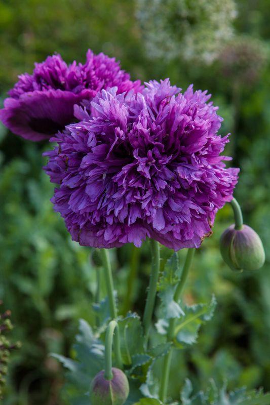 Pin Von Binki Borg Auf F L E U R S B L E U E S Mohnblume Blumen Mohn