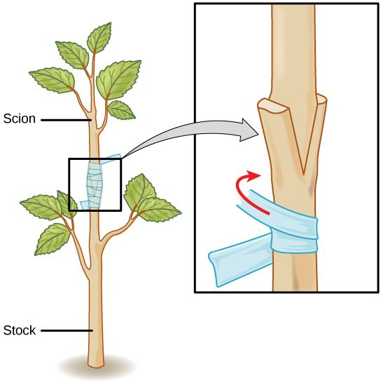 Types of cutting in vegetative propagation asexual reproduction
