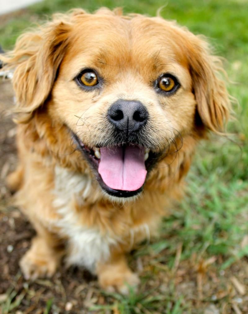 Adopt Trivia on I love dogs, Animals, Pekingese