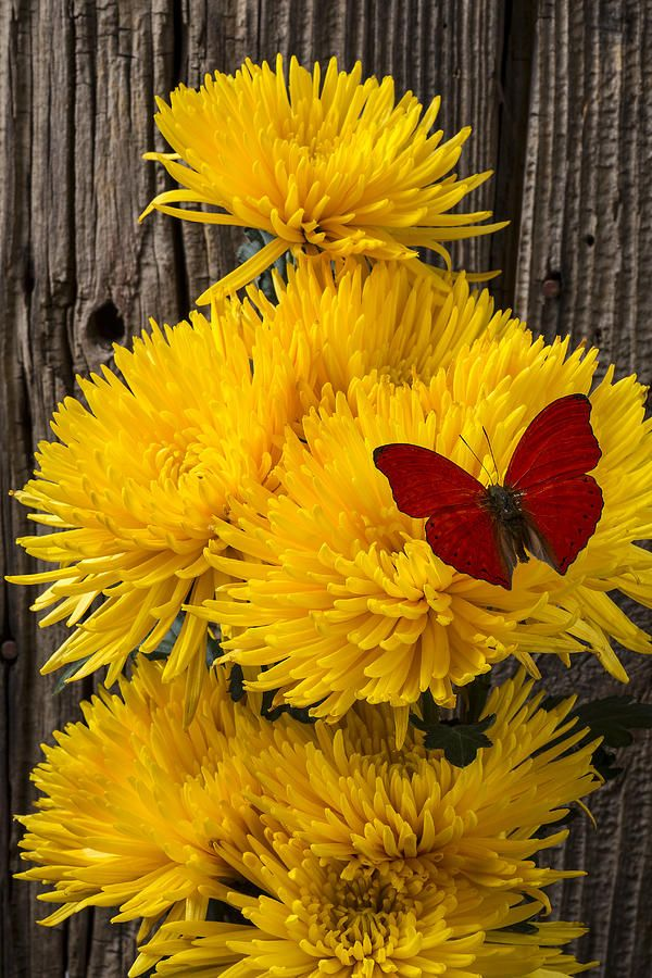 Red Butterfly On Yellow Mums Photograph