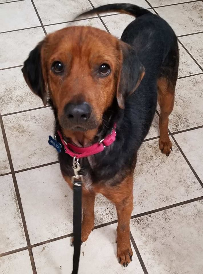 Adopt Milo on Adoptable beagle, Pet finder, Beagle