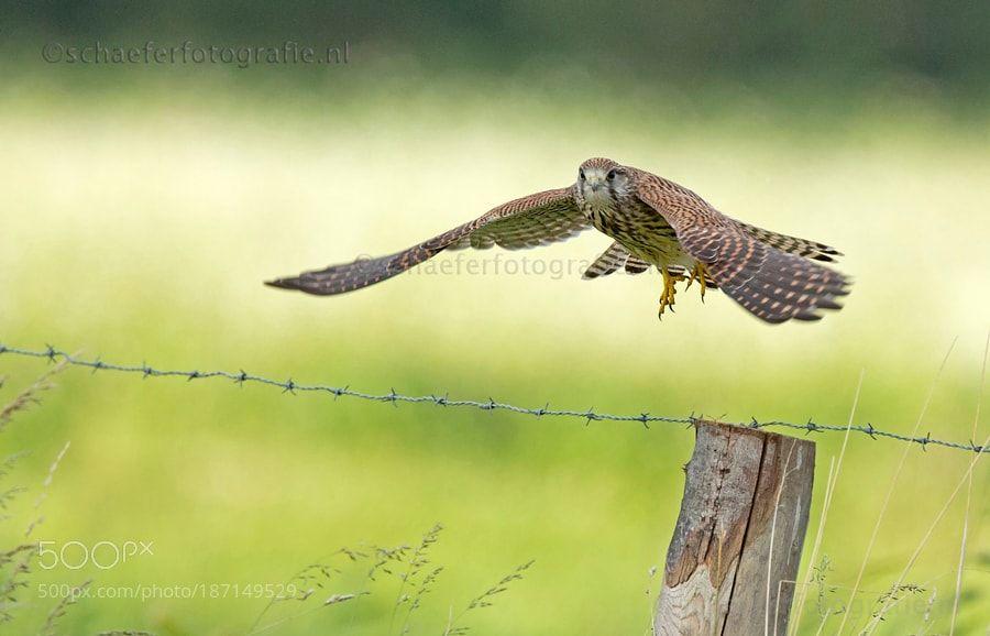 Kestrel in flight by mschaeferfotografie via http://ift.tt/2gi2plO