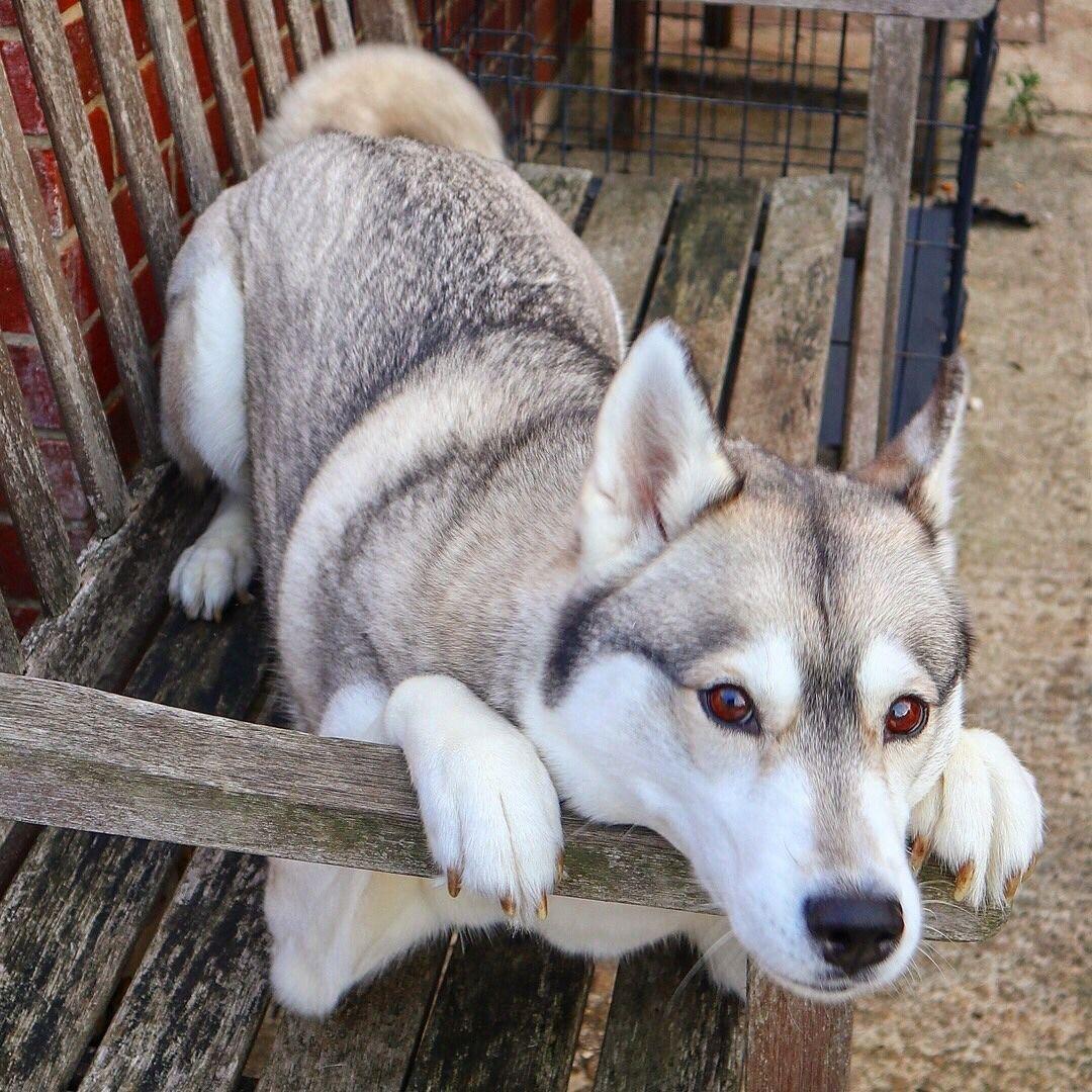 Husky Puppy Lying Down