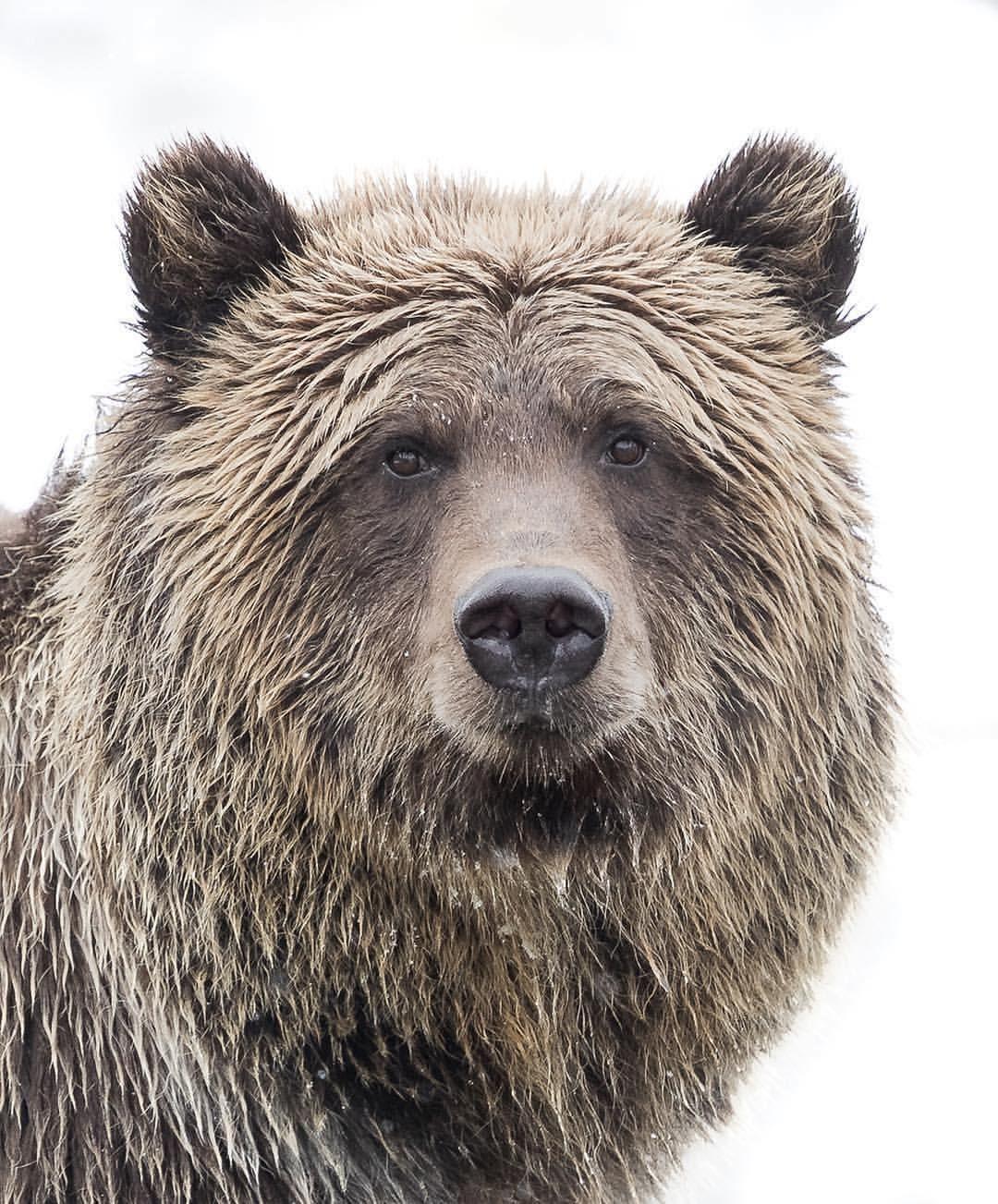 Oso pardo   all about bears   Pinterest   Osos pardos, Osos y Animales