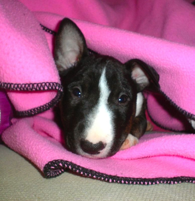 Precious Bull Terrier Bull Terrier Silly Animals Bull Terrier Dog